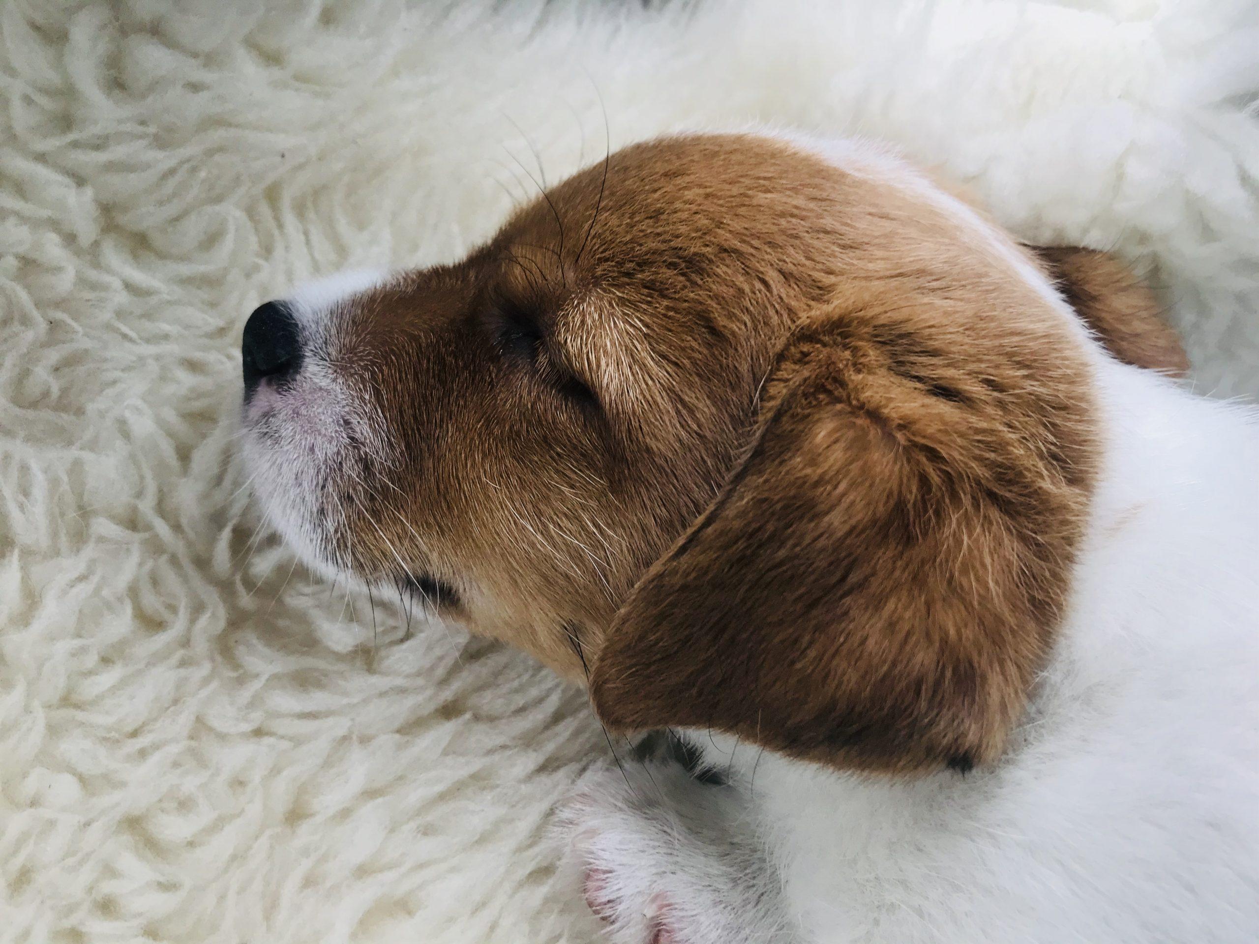 Elluyellow suloinen koiranpentu