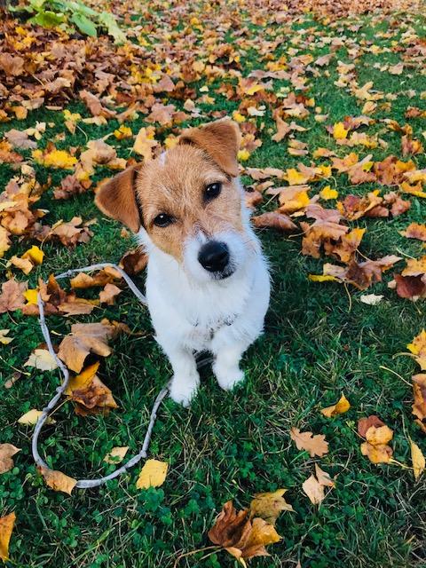 Elluyellow koira