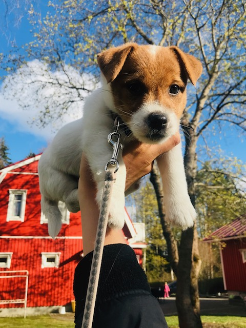 Elluyellow koiranpentu